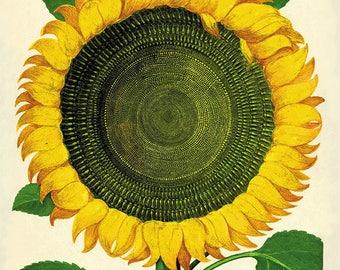 Sunflower art print Antique prints flower art print botanical art print garden wall art flowers home decor wall botanical prints kitchen art