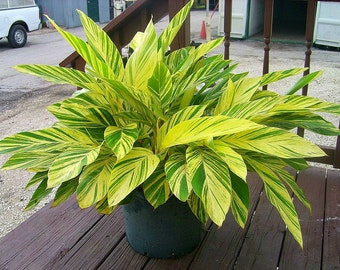 Alpinia Zerumbet Varigated Shell Ginger Rooted Live Plant, A Perfect Housewarming Gift