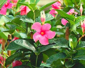 Mandevilla Dipladenia Pink, White Blooms, Live Well Rooted Plant, A Perfect Housewarming Gift