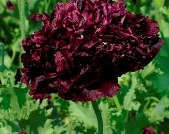 500 Double Black Poppy Seeds