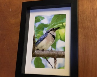Blue Jay,  bird, fine art, Photo print