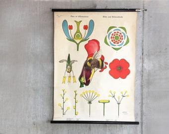 Vintage botanical print, original lithograph school poster 1960s