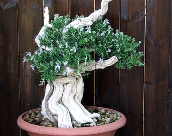 BONSAI - Rosemary