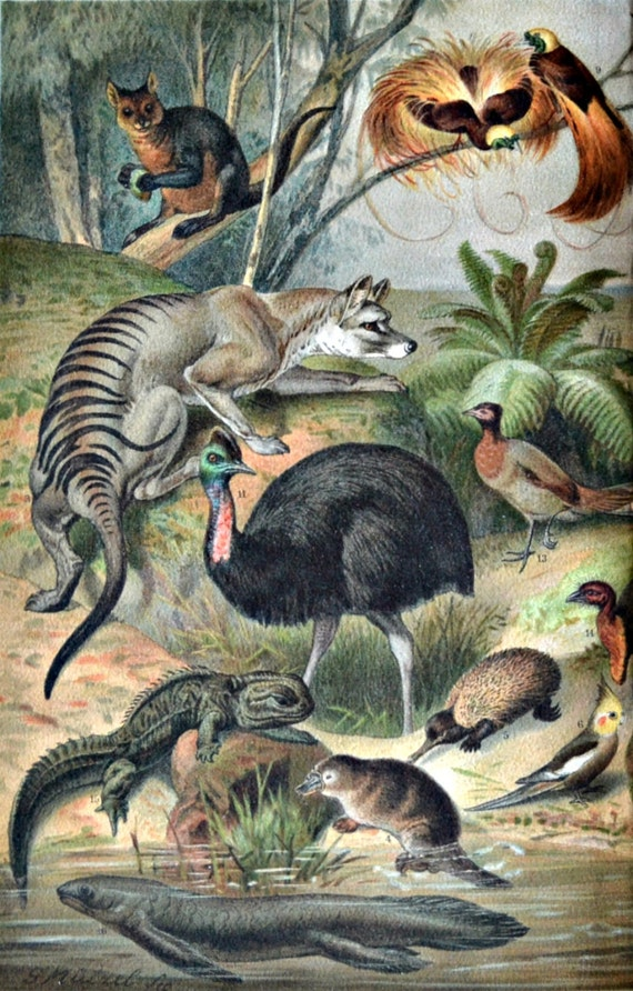 Australian fauna. Kangaroo,Kiwi,Platypus.Zoology print. Old book plate, 1904. Antique illustration. 112 years lithograph. 9'6 x 11'7 inches.