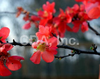 Flowering Quince Digital Download