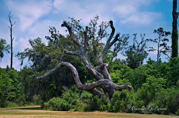 NAKED OAK ~ Louisiana Fine Art ~ Nature Photography ~ Live Oak Tree ~ Color or Black and White ~ Wall Art ~ 12 x 18 format