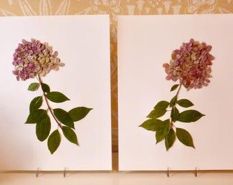 Real Pressed Flower Botanical Art Herbarium Collection of Limelight Hydrangeas 11x14