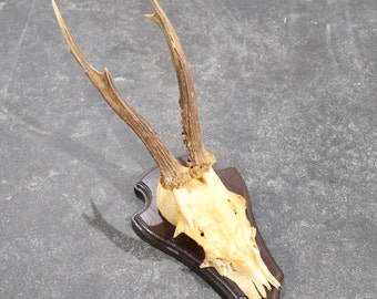 Vintage roe deer skull/antlers on wooden plaque