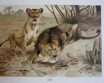 antique print lion 1895