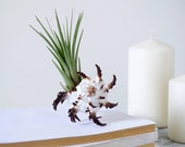 Spinous Air Plant Design | Tillandsia with Seashell  | Coastal Home Decor