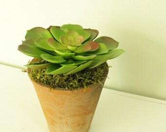 Succulent, succulent plant, succulent pot, echeveria