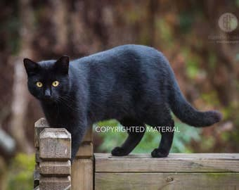 Cats, Feral Cats, Community Cats, Cat Photography, Feline Photography, Black Cat, Fine Art Prints, Wildlife Photography, Photos
