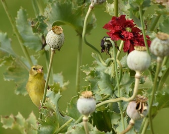 American Goldfinch Among Poppies