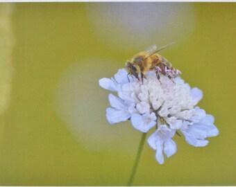Honey Bee - photographic postcard