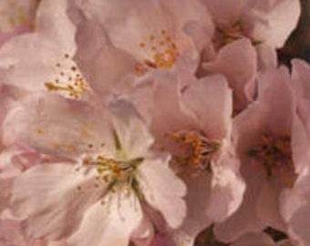 Cherry Blossom Phone Case Pink (Washington, D.C.)