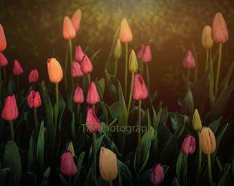 Morning Tulips - Tulips - Spring Flowers - Spring - Springtime - Tulips in the Morning - Fine Art Photograpy