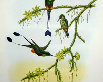 Ecuador Racket Tail by John Gould, Vintage 12x15 Tropical Bird Art  Print c1960s, Spathura Solstitialis, FREE SHIPPING