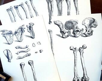 1950 Human Bones Set of 4 Original Vintage Anatomy Vesalius Art Illustration Print