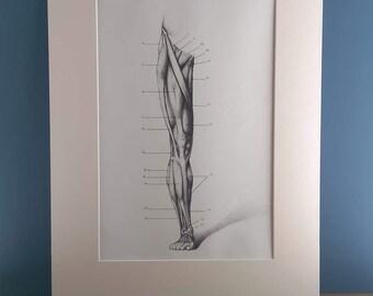 Vintage Medical Anatomical Print of Leg in an Ivory Mount