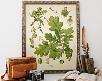 Oak Botanical Print, Oak Print, Oak Tree Botanical Print, Oak Leaves Botanical Print, Tree Art Print, Antique Botanical Reproduction FL097