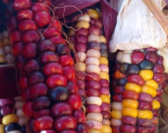 Painted Mountain Corn, Sustainably grown, Oregon, Pacific Northwest