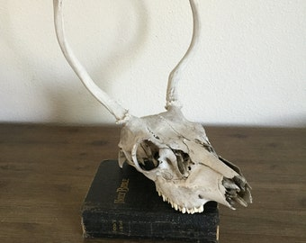 Real Animal Skull; Deer Skull; Animal Home Decor; Rustic Decor; Skull with Antlers; Southwest Decor