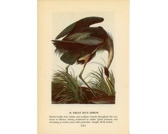 1950 BLUE HERON BIRD print - bird lithograph - great blue heron - original vintage bird print - with white heron on reverse side