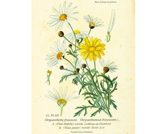 1895 Antique chrysanthemum Print. Vintage Daisy Print. Garden Flower Wildflower Home decor Victorian Botanical wall art