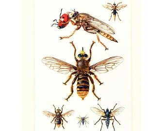 1960 Vintage flies Print. Fly Illustration. Insect Diptera. Entomology. Natural History.