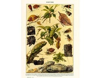 1937 Vintage Mimicry print, Kallima, Stick Insect, Oakleaf Butterfly, Chameleon, French Vintage Encyclopedia Larousse Original Framing