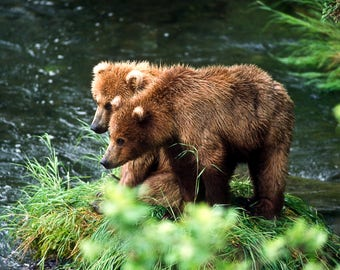 Alaskan bear cubs fine art print