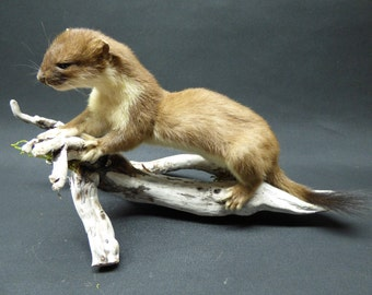 TAXIDERMY Large Adult Stoat (no:63). Mounted On Driftwood. Total Length 39cm. Weasel Family.
