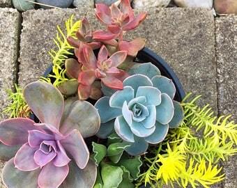 Succulent sedum Mix/Succulent plant/succulents/indoor plant/succulent arrangement/live plants/cactus/succulent wedding