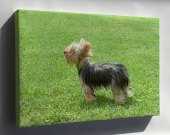 Canvas 16x24; Yorkshire Terrier