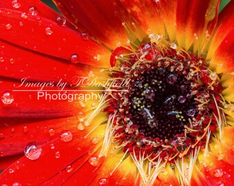 Red Daisy, Rain drops, Fine Art Photography, Fine Art Print, Macro Photography