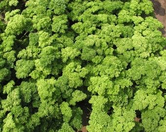 Parsley Seeds Triplex Russian Herb Seed#626