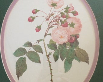 Pierre-Joseph Redoute, Adelaide of Orleans Rose, Botanical Print