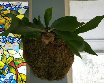 Live House Plant Staghorn Fern mounted and finished with moss