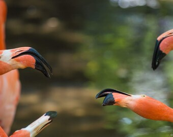 Canvas - Flamingos Playing/Fighting