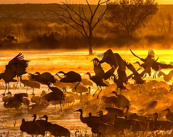 Sandhill Cranes, Misty Sunrise, Office Print, Bosque del Apache, New Mexico, Bird Photo, SynVisPhotos, Canvas Wrap, Steve Traudt