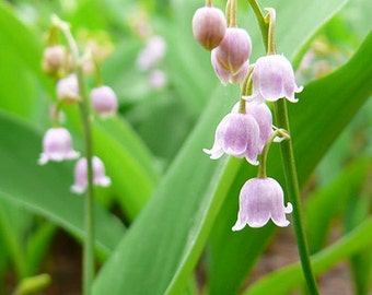 Convallaria Majalis LILAC COLOR Colorful Lily of the Valley Orchid Seeds 100  Seeds (Item No: 7)