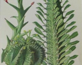 1957 cactus plants fat Hans Krainz Euphorbia Hamata, spurge Melon, Trigona decoration wall scrapbooking succulent plant