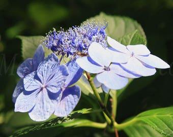 Hydrangea in the Spotlight: Color,Leaves,Plant,Art,GardenFlowers,Blue,Wall Art,Gift,Hydrangea,Light,Instant Download,Printable Art