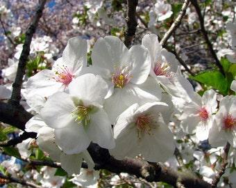 1 Snowgoose Flowering Cherry Tree