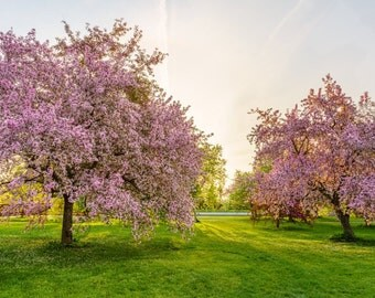 Flowering Pink Trees  - Ottawa Photography, Nature Photography, Fine Art Print, Ontario Photography, Spring Photography, Flowers, blossoms