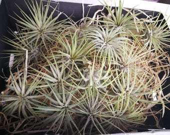 Tillandsia Ionantha, green air plant - green air plant - indoor outdoor garden/house plant colorful red/terrarium accessories