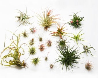 2 x air plant assortment - tillandsia house plant collection - live airplants - easy care plant for artificial moss