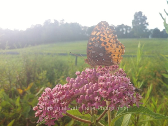 """Butterfly Framed Photo Art, Butterfly on Pink Milkweed Nature Landscape Framed Photograph, 8x8"""""""