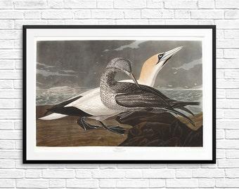 Gannet, Gannets, Gannet art, Gannet posters, Gannet prints, Gannet birds, Audubon Gannets, Audubon prints, Audubon posters, Audubon etchings