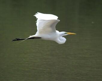 4 megapixel file of In-flight Great Egret in Mating Plumage.